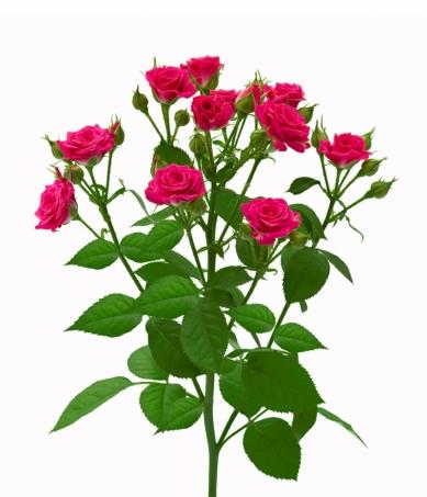 Кущові троянди замовити