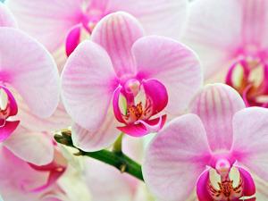 Орхідеї Львів