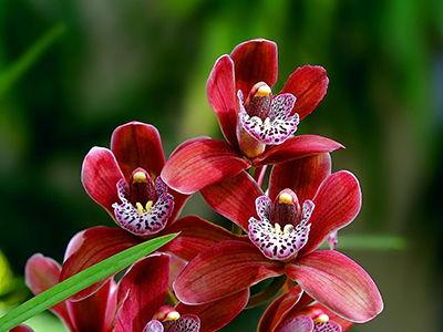 orhidei-opt