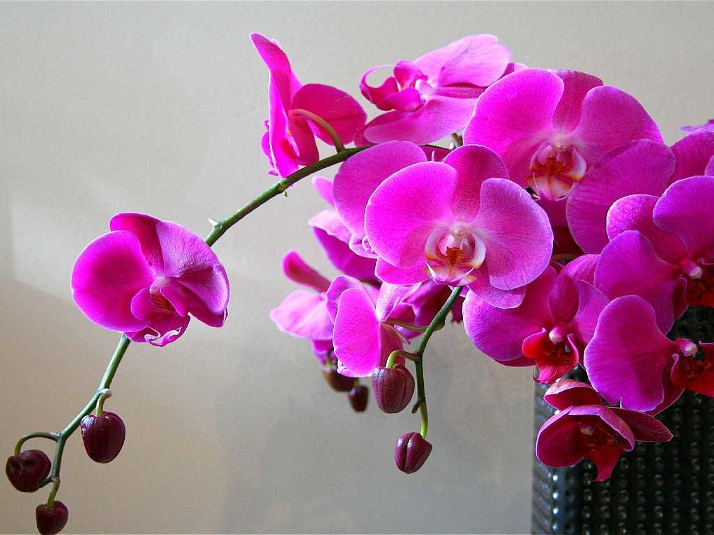 Особливості догляду за орхідеями