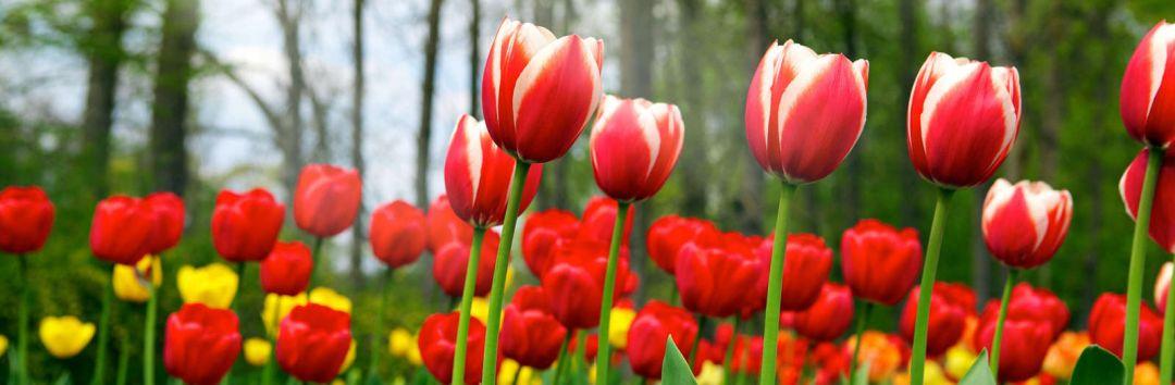 Догляд за тюльпанами Львів