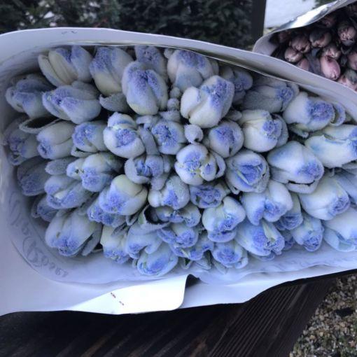 Тюльпани Львів